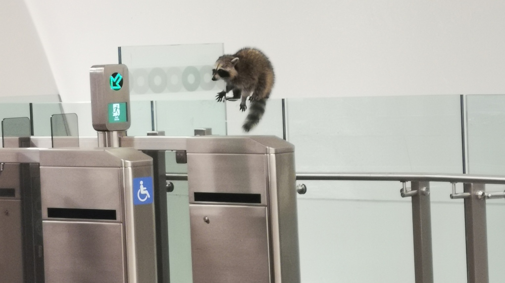 Racoon at Lyon Station, Ottawa LRT
