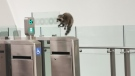 A raccoon was spotted at OC Transpo LRT 's Lyon station on Thursday, Aug. 14, 2020. (Robyn Jones/CTV Viewer)