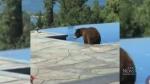 Bear steals cushion