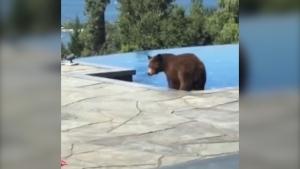 B.C. bear