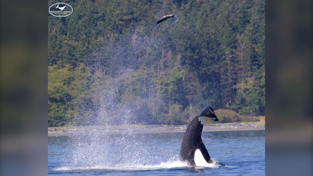 orca seal