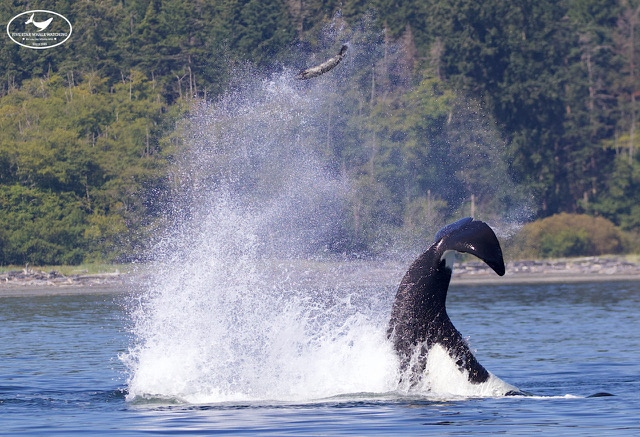 A Transient orca is pictured launching a seal into the air near Vancouver Island: (Five Star Whale Watching)