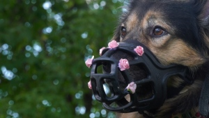 Mooshka now wears a muzzle and vest warning people to stay away from her after she bit two smaller dogs a year ago and was ordered euthanized.