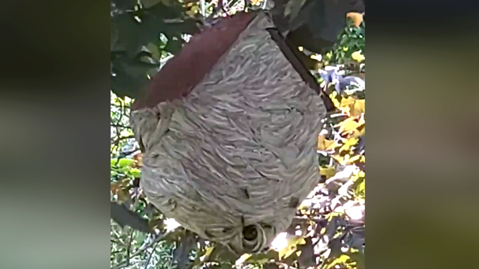 A wasp nest built around a birdhouse discovered while mowing the lawn (Source: Ira Timothy)