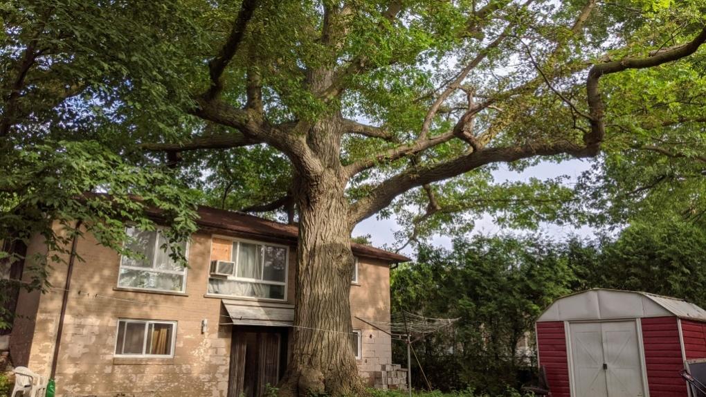 Toronto oak tree