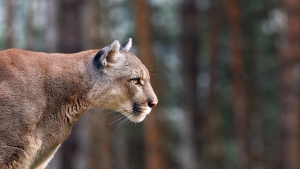 A cougar is seen in this undated image. (Shutterstock)
