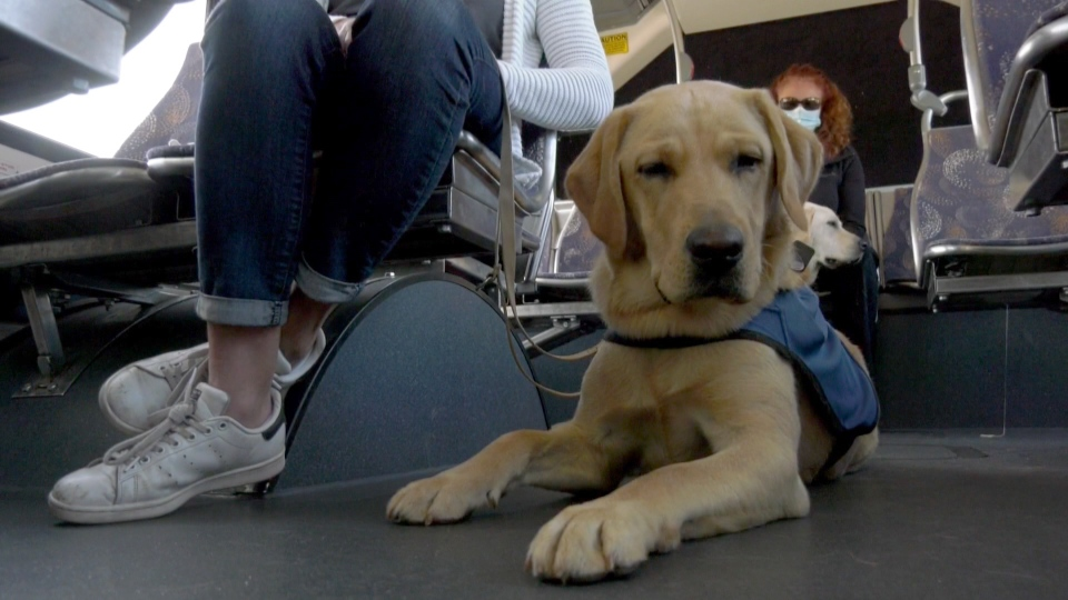Calgary Transit partnered with BC and Alberta Guide Dogs to help train puppies in riding on buses.