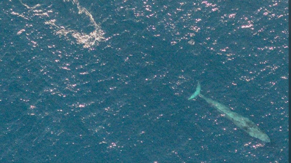 This endangered blue whale was photographed by a team of federal Fisheries observers while they were flying over the Scotian Shelf in a Twin Otter on Wednesday, Sept. 2, 2020. (COURTESY FISHERIES AND OCEANS CANADA)