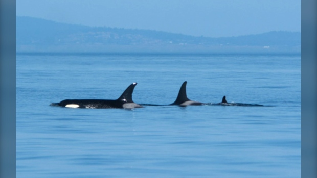 Orca that pushed dead calf for weeks has given birth, whale watchers say