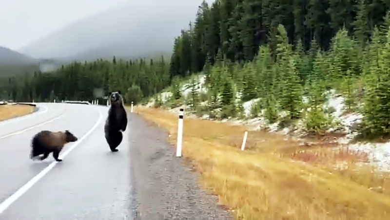 As many as five grizzly bears were spotted near Highway 40 outside Kananaskis Village Monday.