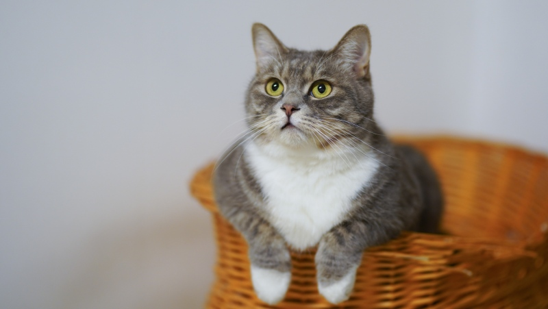 A cat in seen in this file image.  New research from Spain suggests that cats are able to develop their own antibodies that effectively neutralize COVID-19.