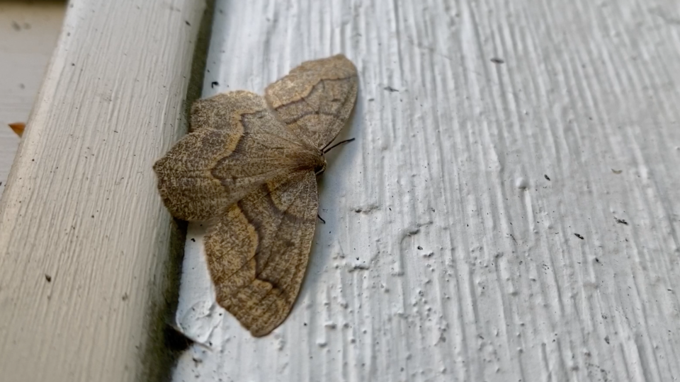 Western hemlock looper moths have been pestering residents in parts of Metro Vancouver as an outbreak that started in the North Shore forests spreads throughout the region.