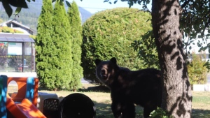 A grizzly spotted wandering through a Squamish neighbourhood in early September is seen in this file photo. This bear was captured by conservation officers and later released. (File photo)