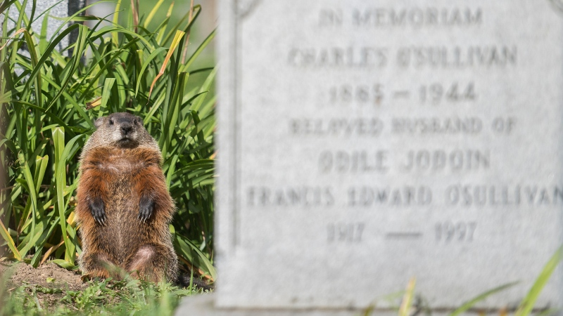 A groundhog looks out from its burrow beneath a gravestone at Notre-Dame-des-Neiges cemetery in Montreal, Friday, Sept. 4, 2020. THE CANADIAN PRESS/Graham Hughes