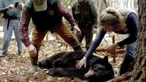 In this April 13, 2018, file photo, Andrew Timmins, the bear project leader with the New Hampshire Department of Fish and Game, steps over a tranquilized female black bear as Nancy Comeau, right, of the USDA wildlife services, keeps a hand on the bear after it had been moved onto her side in Hanover, N.H. The bear, tagged and fitted with a tracking collar, was later relocated to far northern New Hampshire. But in May 2019, the bear returned to her home turf in Hanover. In spring 2020, the bear is preparing to emerge from hibernation in her den with three new cubs. (Jennifer Hauck/The Valley News via AP, File)