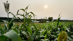 The sun sets in a hazy sky over a cornfield in Antrim Township near Greencastle, Pa., Tuesday, Sept. 15, 2020. (Colleen McGrath/The Herald-Mail via AP)