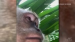 A Malaysian man got quite a surprise when he found out a monkey took some video selfies on his lost cellphone.