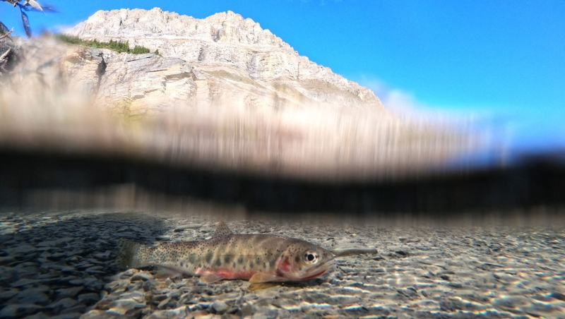 Native westslope cutthroat trout, seen in an handout image taken in Banff National Park. (Supplied/Parks Canada)