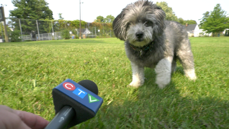 Rufus of Brockville is in the running to be named America's favourite pet. (Nate Vandermeer/CTV News Ottawa)