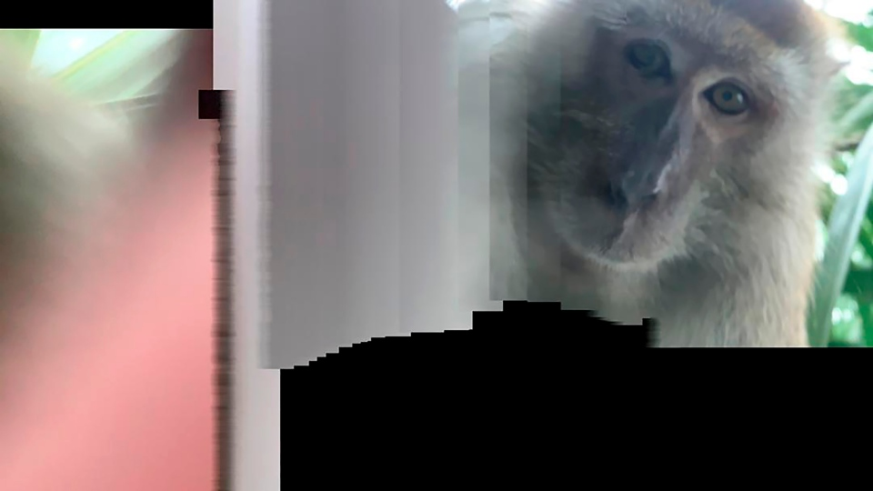 monkey which took a selfie
