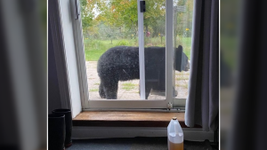 A black bear was spotted outside a home near Athens, Ont. on Thursday, Sept. 17. (Photo courtesy: Twitter/OPP_ER)