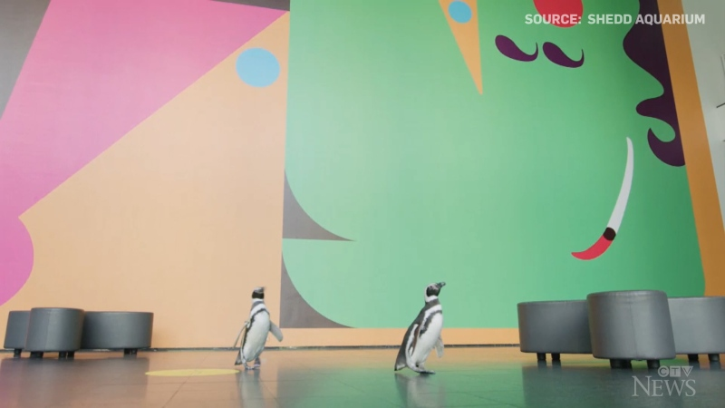 Meet Izzy and Darwin, a pair of penguins, who left Chicago's Shedd Aquarium for a field trip to the Museum of Contemporary Art.