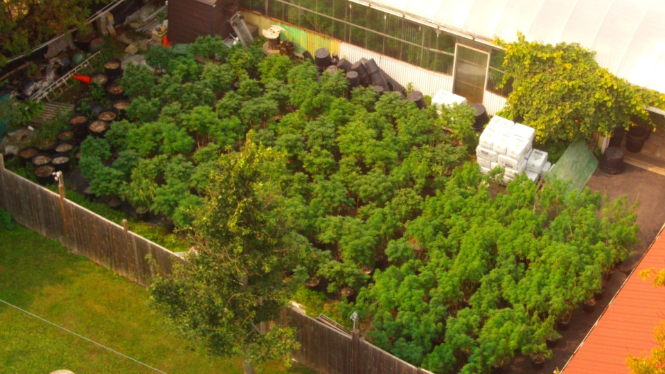 Caledon OPP Street Crime Unit seized 237 cannabis plants on Wed., Sept. 16, 2020.
