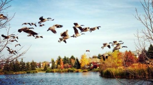 Canada geese coming in to land at Muys Park pond, Lindenwoods. Photo by Choo Choo Rosenbloom.