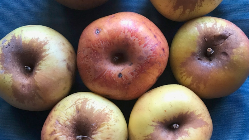 Researchers found a handful of firm apples on the ground below the Fremont County tree. They hoped the apples were of the Colorado Orange variety. (Montezuma Orchard Restoration Project)
