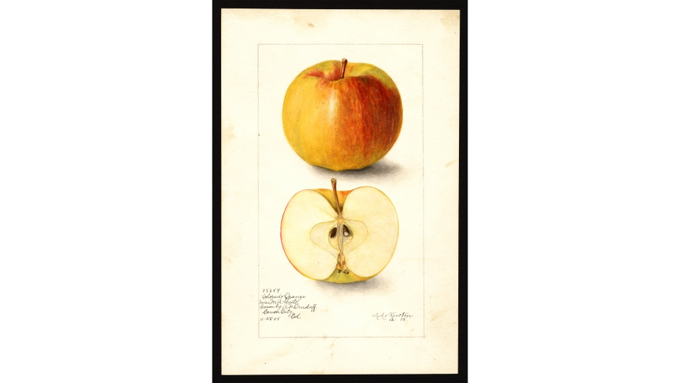 The U.S. Department of Agriculture has nearly 4,000 watercolor paintings of various apples grown in the U.S. the past 200 years. (U.S. Department of Agriculture)