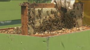 Fall honey harvesting