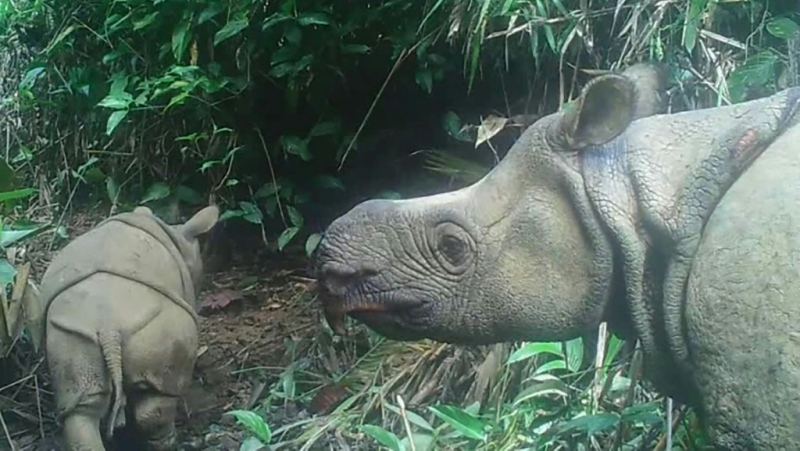There used to be thousands of Javan rhinos across Southeast Asia. (AFP)