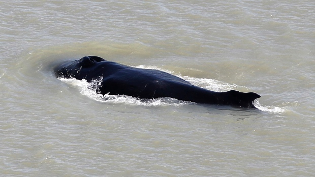 Whale swims free of crocodile-filled Australian river