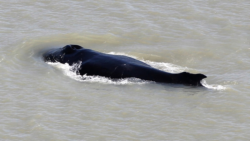 In this Sept. 10, 2020, file photo provided by the Northern Territory Government, a humpback whale swims in the East Alligator River in the Kakadu National Park in Australia's Northern Territory. (Northern Territory Government via AP, File)