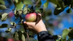 A visitor picks a McIntosh apple at AppleStock Orchard in Winchester, Ont., near Ottawa, on Saturday, Sept. 19, 2020. (Justin Tang/THE CANADIAN PRESS)