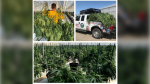 Chatham-Kent police seized more than $7.3 million in cannabis from an illegal operation at a Chatham greenhouse. (courtesy Chatham-Kent Police)