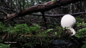 A common puffball mushroom in the forests of Stittsville (Ben Newar/CTV Viewer)