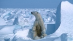 A polar bear with its cubs in the Alaska sea ice in 1985 -- Arctic summer sea ice melted in 2020 to the second smallest area since records began 42 years ago, U.S. scientists announced. (AFP)