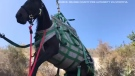 Eight-year-old horse airlifted to safety and reunited with its owner after tumbling down 18 metres into ravine in a Calif. wilderness park.