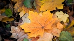 Leaves that get the most sunlight will develop red leaves, as the sugars inside them are 'baked' into the red anthocyanin pigments. (Shutterstock / CNN)