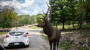 A buck among the cars at Omega Park (CTV Montreal / Dale Crockett)