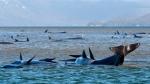 Pilot whales lie stranded on a sand bar near Strahan, Australia, Monday, Sept. 21, 2020. (Brodie Weeding/Pool Photo via AP)