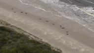 More pilot whales were found stranded on an Australian coast on Sept. 23, 2020, raising the estimated total to almost 500 in the largest mass stranding ever recorded in the country.