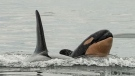 Orca calf J57, whose mother is J35 – also known as Tahlequah, a southern resident orca that carried her dead calf across the ocean  in 2018 – is shown in September 2020:(Sara Hysong-Shimazu/Maya's Legacy and the Pacific Whale Watch Association)