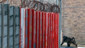 A baboon, named Kataza by locals, enters the grounds of Pollsmoor Maximum Security Prison in Tokai, Cape Town, South Africa, Thursday, Sept. 17, 2020. (AP Photo/Nardus Engelbrecht)