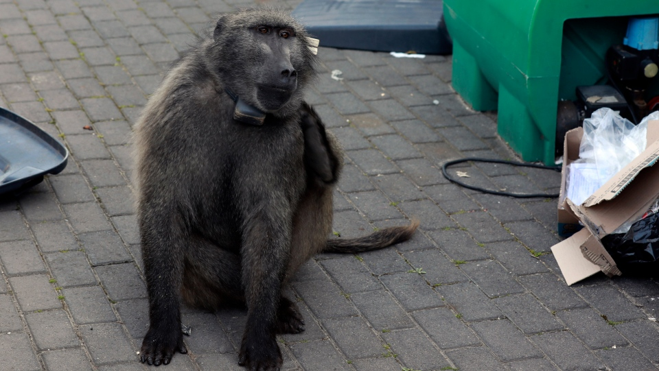 A baboon, named Kataza by locals, eats from discarded waste from stores in Tokai, Cape Town, South Africa, Thursday, Sept. 17, 2020. (AP Photo/Nardus Engelbrecht)