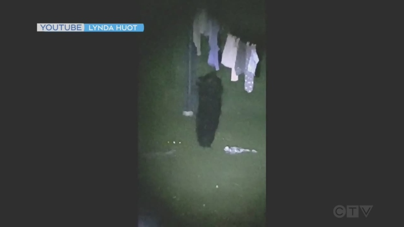Black bear snuggles with laundry in Timmins area (Supplied)