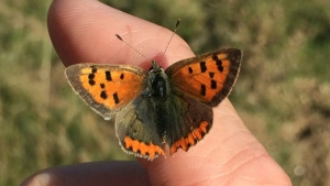 Species that rely on shaded areas, such as the Small Copper butterfly, have suffered steeper population declines over the last 40 years.  (AFP)