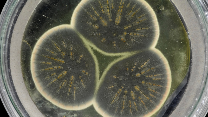 This mold was regrown from Alexander Fleming's frozen sample that produced the first antibiotic, penicillin. (CABI)