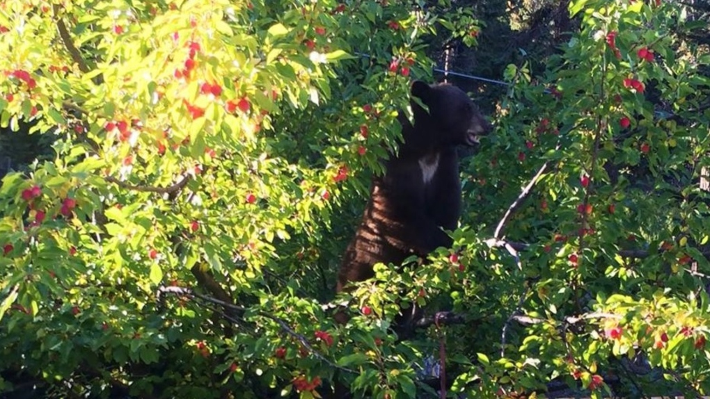 Bear in a fruit tree